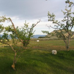 Old Apple Trees at E.P. Orchards u-pick in Summerland BC