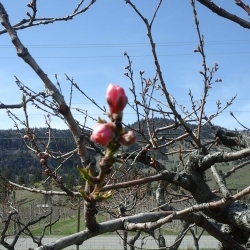 April 2015 Blooms at E.P. Orchards